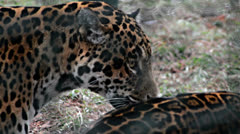 two jaguars - stock footage