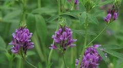 Medicago sativa, alfalfa, lucerne in bloom - close up Stock Footage