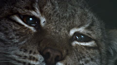 linx eyes - stock footage