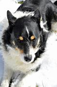 Black and white dog in snow Stock Photos