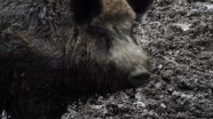 wild boar rooting in the mud walking away - stock footage