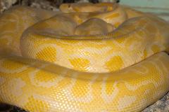 Albino snake Stock Photos
