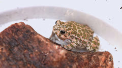 Leopard Frog, (Rana pipiens) - stock footage