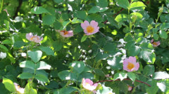 Background of branches of dog-rose Stock Footage