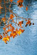 Autumn leaves under tiber river Stock Photos