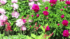 Bush of peony with leaf and flower - stock footage
