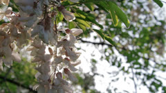 White acacia blossoms Stock Footage