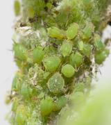 Aphids on a green leaf. macro Stock Photos