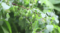 Branch of plum-tree with berrys - stock footage