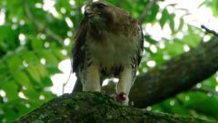Hawk Eats Prey Handheld - stock footage