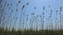 Reed in the Breeze on a Windy Day, Landscape, Backgrounds, Nature Image - stock footage