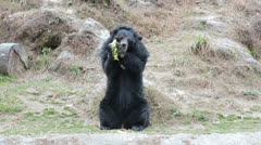 Stock Video Footage of Asiatic black bear full height