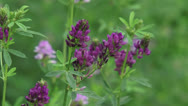 Stock Video Footage of Medicago sativa, alfalfa, lucerne in bloom - medium shot
