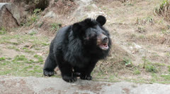 Asiatic black bear Stock Footage