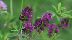 Medicago sativa, alfalfa, lucerne in bloom - close up 02 Stock Footage