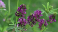 Stock Video Footage of Medicago sativa, alfalfa, lucerne in bloom - close up 02