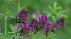 Medicago sativa, alfalfa, lucerne in bloom - close up, zoom out Stock Footage