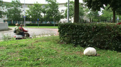 Giant puffball (Calvatia gigantea) in field roadside roundabout Stock Footage