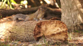 Squirrel On Log Footage