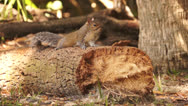 Stock Video Footage of Squirrel On Log