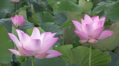 Pink Lotus blossoms Stock Footage