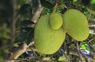 Stock Photo of jack fruit