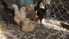 Adorable chicks, Gallus domesticus Stock Footage