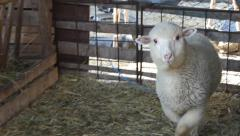 Lamb in stable, Ovis aries Stock Footage