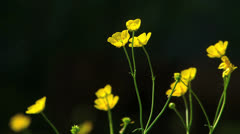 Stock Video Footage of Meadow yellow buttercup Ranunculus repens in nature wildness countryside