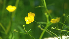 Stock Video Footage of SM Meadow yellow buttercup Ranunculus repens in nature wildness countryside