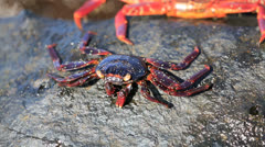Sally lightfoot crab feeding Stock Footage