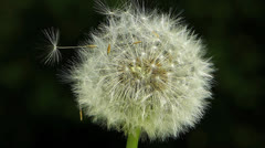 Slow Motion White Dandelion flower in nature wildness countryside Stock Footage