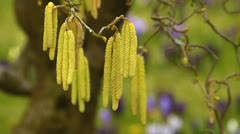 Stock Video Footage of Hazel flower pollen allergic allergy in Spring time