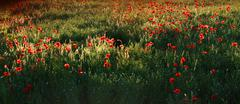 Poppies - stock photo