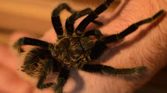 tarantula human arm - stock footage
