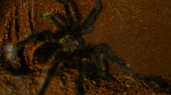 desert tarantula close up - stock footage