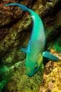 Parrotfish (Scarus Perrico) Stock Photos