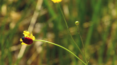 Bug on yellow buttercup Ranunculus repens in nature wildness countryside Stock Footage