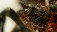 Red tarantula macro Stock Footage
