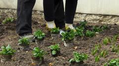 Gardener Worker gardening seedling seeded sowing sow plant in fresh Spring earth - stock footage