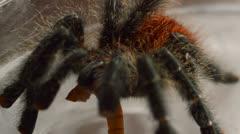 Red tarantula close up Stock Footage