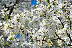 Spring blossom: branch of a blossoming apple tree on garden background Stock Photos