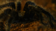 desert tarantula  turning - stock footage