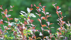 Red decorative young branches - stock footage