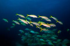 Goatfish (Mulloidichthys dentatus) - stock photo