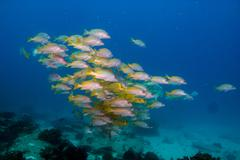 Yellowtail snapper (Lutjanus argentiventris) - stock photo