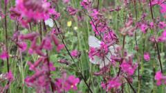 Butterflies on flower field in summer 7 - stock footage