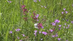 Butterflies on flower field in summer 3 - stock footage