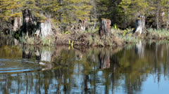 Throwing rocks into Alaskan forest pond reflection HD 7094 Stock Footage