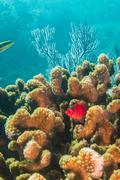 hawkfish - stock photo